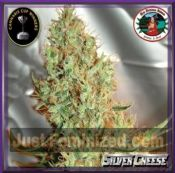 Big Buddha Silver Cheese Strains female Buy marijuana seeds